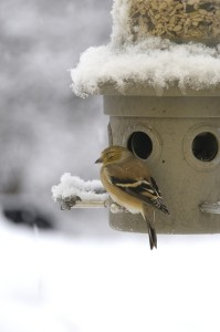 Goldfinch, sick 2